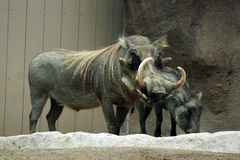 Warthogs at zoo. A warthog captive in a zoo, with another warthog standing behind him Stock Images