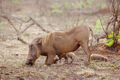 Warthoh with Piglets Stock Image