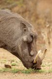 Warthoh Portrait Stock Photography