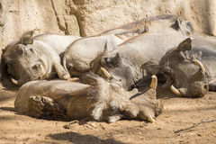 Warthoq family sleeping in the sun, Phacochoerus africanus Stock Photo