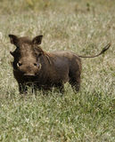 Wartie Delight. African Wart Hogs are an important part of the country's ecosystem stock photography