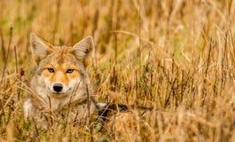 Wartownika kojota Dymiące góry obraz royalty free