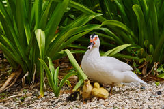 Warts duck with junior. Warts duck with young yellow chick Royalty Free Stock Image