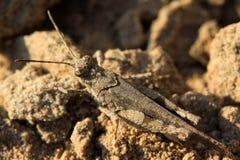 Warts locust Stock Photo