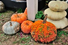 Warts on pumpkins Stock Photography