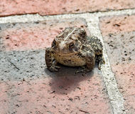 Warty Eastern American Toad on Brick Stock Image