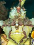 Warty frogfish, Antennarius maculatus. Lembeh, North Sulawesi. Yellow warty frogfish or clown frogfish, Antennarius maculatus, waiting to ambush prey. Lembeh stock photography