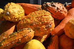 Warty Gourds. Bump covered warty gourds in bright colors for autumn decoration for sale at the outdoor farm market royalty free stock photography