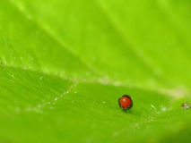 Warty Leaf Beetle Egg Stock Images