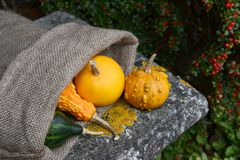 Warty ornamental gourd with jute sack of colourful squashes Royalty Free Stock Image
