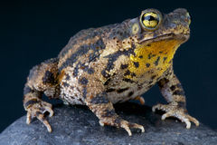 Warty Pad/granulosa Bufo Royalty-vrije Stock Afbeelding