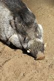 Warty Pig Stock Photography