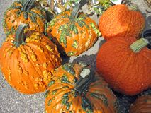 Warty Pumpkins Stock Photo