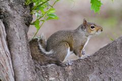 Wary. Squirrel sitting on a tree branch Royalty Free Stock Photography