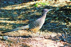 A wary Arizona Roadrunner bird inspects the viewer. The Arizona Roadrunner is as fast on the ground as in the air. We see him standing; frozen in his tracks as royalty free stock photo