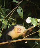 A Precautionary Capuchin Monkey Marking its `Safe Zone` royalty free stock images