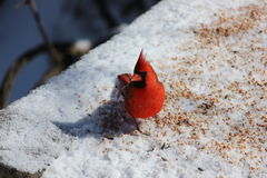 A wary Cardinal checking me out. Stock Images