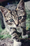 Wary cat. Wary curious kitten sneaking in the grass Royalty Free Stock Image