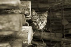 Wary cat - sepia. Cat look from behind the firewood (sepia version Royalty Free Stock Photography