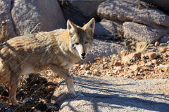 Wary coyote in the wild Royalty Free Stock Image