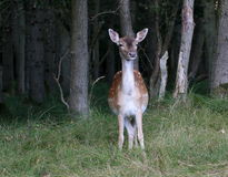 Wary Fallow Deer Doe Royalty Free Stock Images