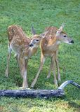 Wary fawns. A pair of fawns on the lookout in the morning royalty free stock image