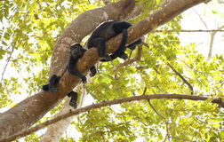 Wary Howler Monkeys. Pair of wild howler monkeys on the lookout in a tree in Costa Rica Stock Photography