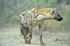 Wary Hyena Royalty Free Stock Photo