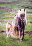 Icelandlic Horse and Foal royalty free stock images