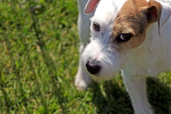 Wary Jack Russell. A Jack Russell terrier eyes the photographer warily Stock Photos