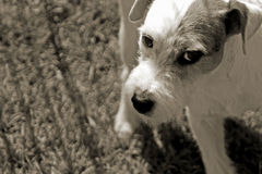 Wary Jack Russell. A Jack Russell terrier looks warily at the photographer Royalty Free Stock Photo