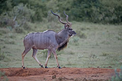 Wary Kudu Giant. A stately Kudu Bull out in the open Stock Photography