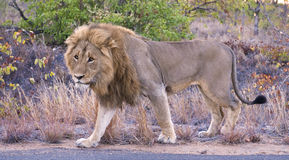 Wary Lion Stock Photography