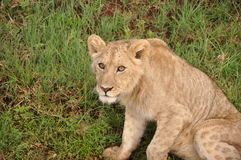 Wary lion cub. A cautious lion cub in Ngorogoro Crater, Tanzania Stock Images