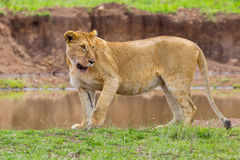 A Wary Lioness Royalty Free Stock Image