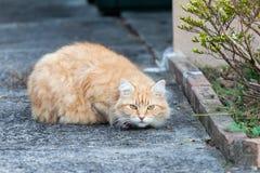 Wary ljust rödbrun Tabbykatt på trottoaren arkivfoton