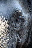 Wary look of Thai elephant close-up. In National Park Stock Photos