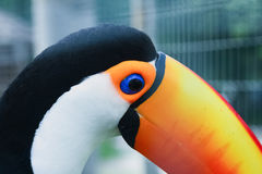 Wary look of the toucan. Looking suspicious of the toucan in being photographed royalty free stock photo