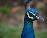 Portrait of a peacock royalty free stock photos