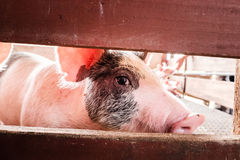 Wary Pig. A pig peers through a red fence Stock Photography