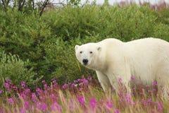 Wary Polar Bear 1. Canadian Polar Bear walking in the colorful arctic tundra of the Hudson Bay near Churchill, Manitoba in summer royalty free stock images
