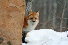 Wary red fox. Peeking around a rock Stock Photos