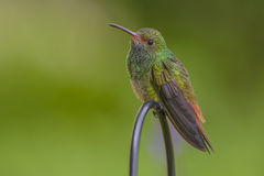 Wary Rufous-tailed Hummingbird. Photographed in Costa Rica Stock Photo
