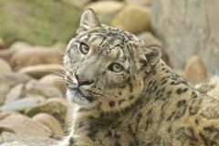 Wary Snow Leopard Royalty Free Stock Photos