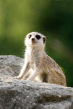 Wary surikata. African wary surikata sitting on the stone Royalty Free Stock Images