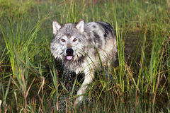 Wary Wolf Royalty Free Stock Images