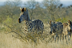 Wary Zebra Royalty Free Stock Photo
