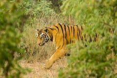 WaryWild Bengal tiger royaltyfria foton