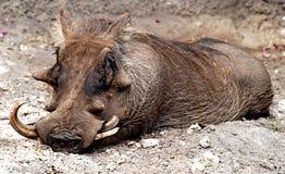 Warze-Schwein Stockbilder