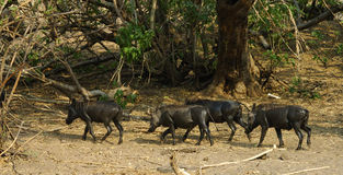 Warze-Schweine Stockbild